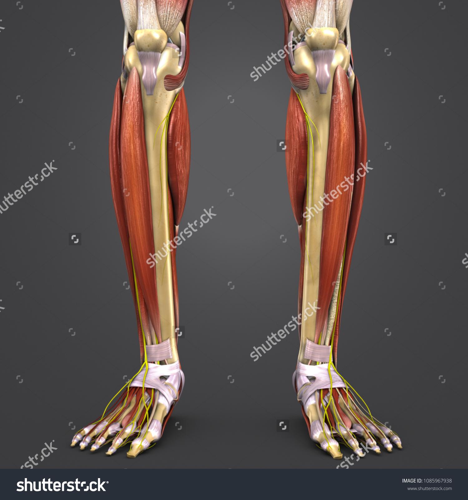 Leg Muscle Anatomy Skeleton Nerves Anterior Stock Illustration