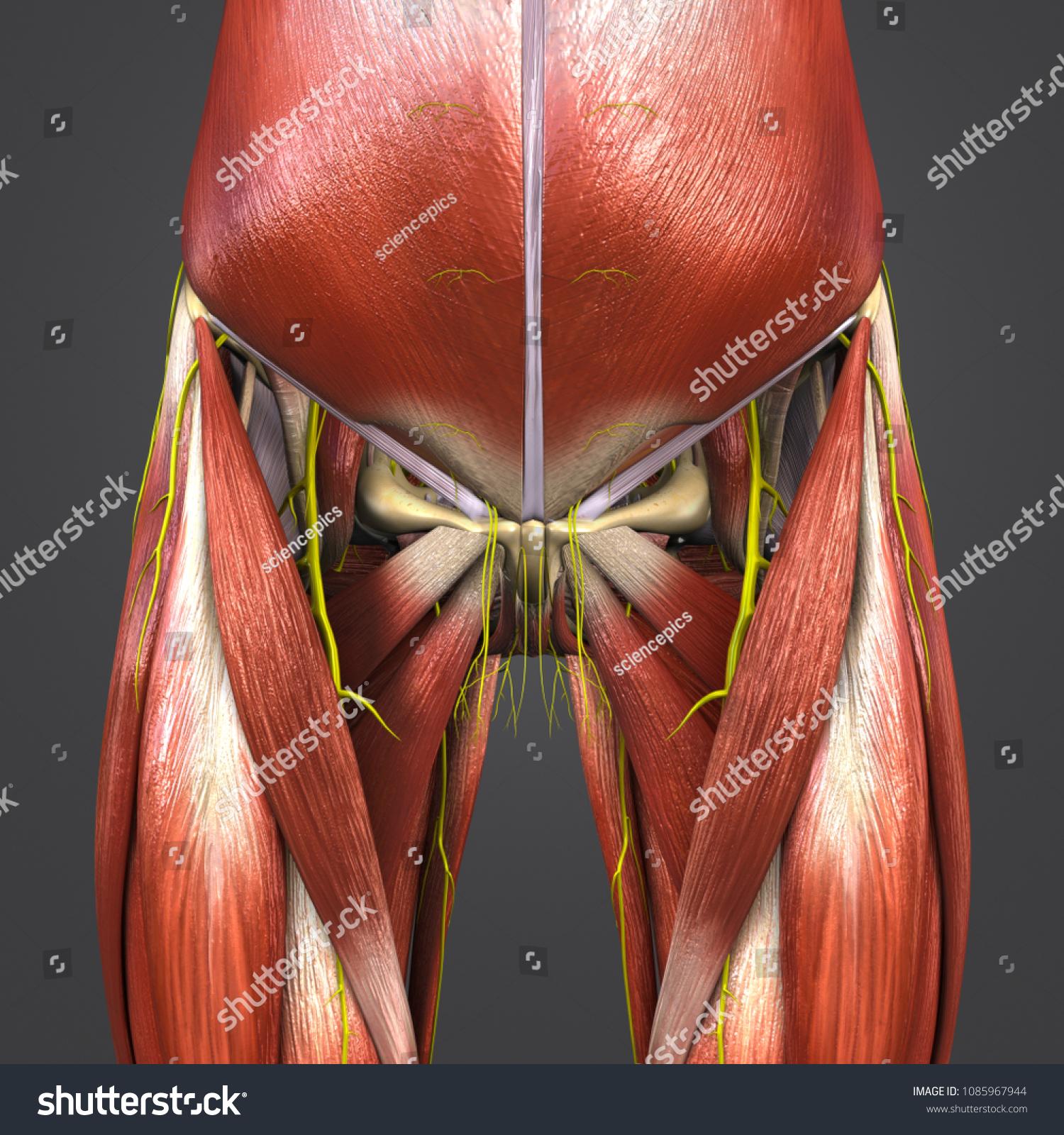 Hip Muscle Anatomy Skeleton Nerves Anterior Stock Illustration