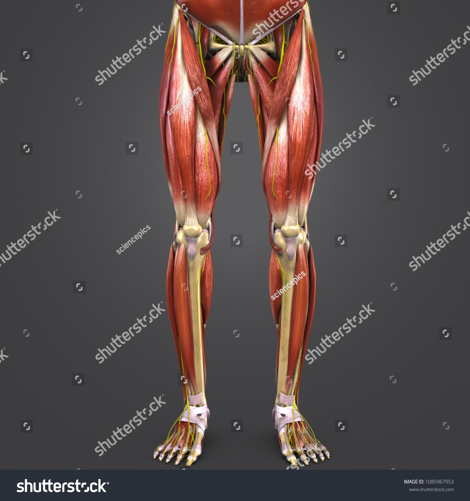 Lower Limbs Muscle Anatomy Skeleton Nerves Stock Illustration ...