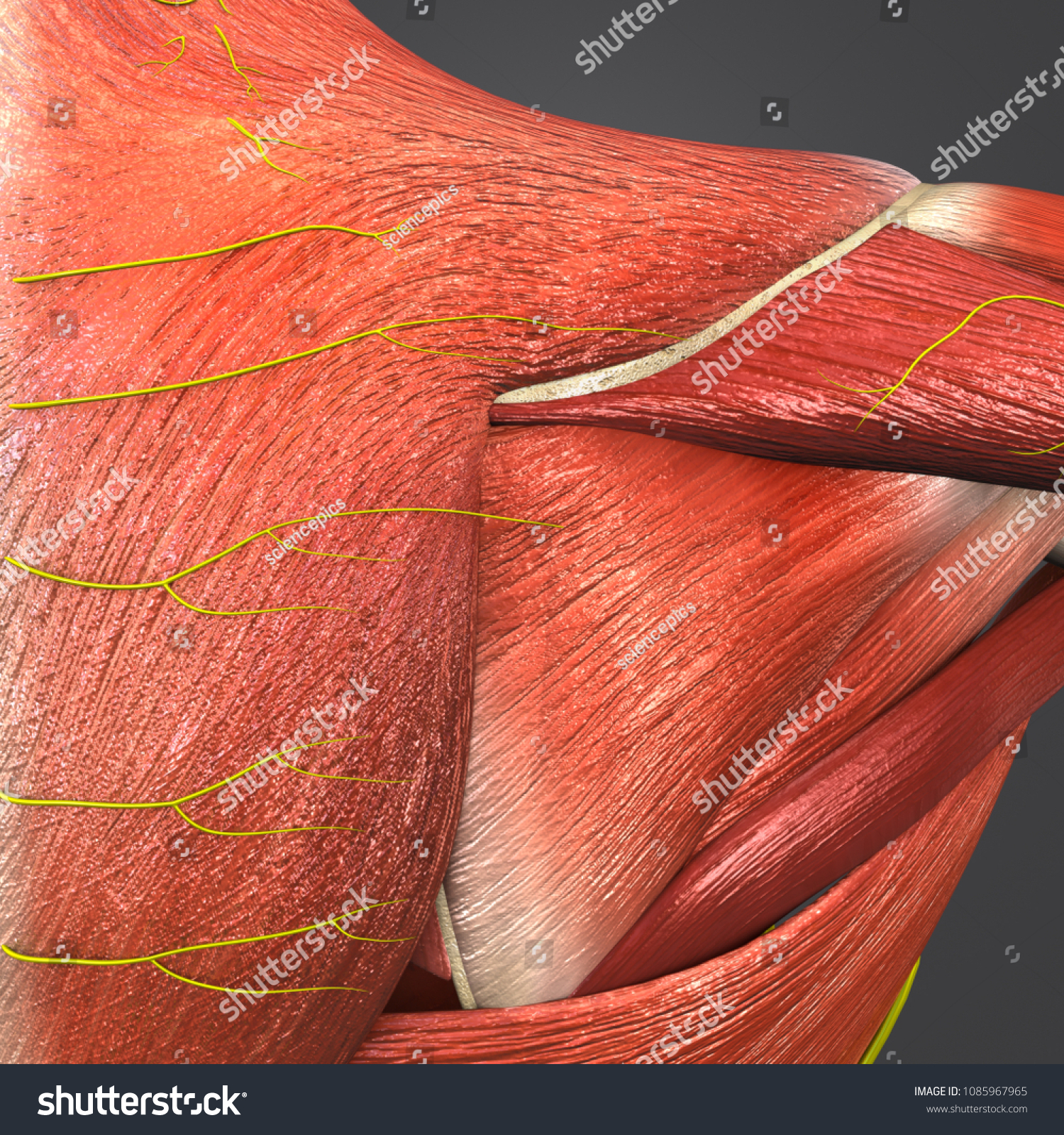 Shoulder Muscle Anatomy Skeleton Nerves Posterior Stock Illustration ...