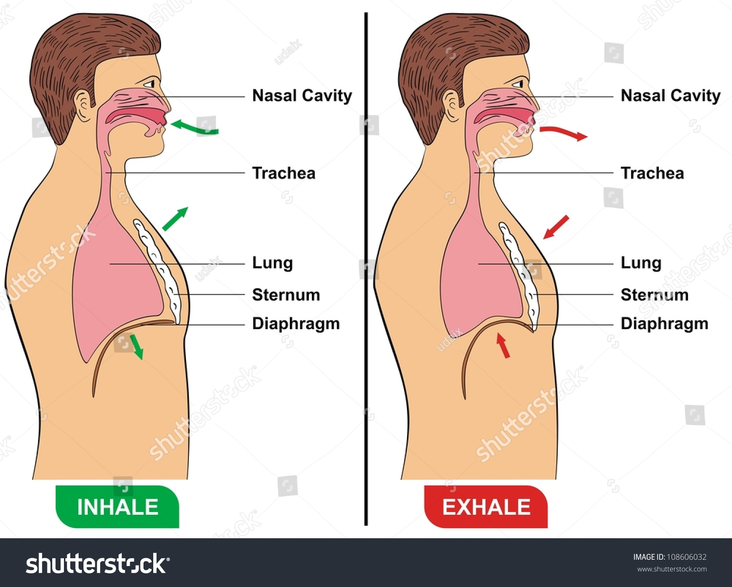 respiration inhalation exhalation stock illustration 108606032 rh shutterstock com gas exchange inhaling and exhaling diagram comparing inhalation and exhalation diagram