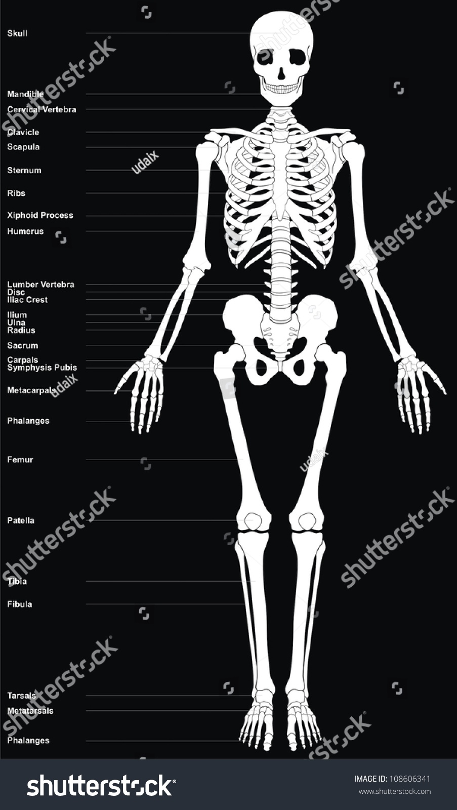 Royalty Free Stock Illustration Of Human Skeleton All Major Bones