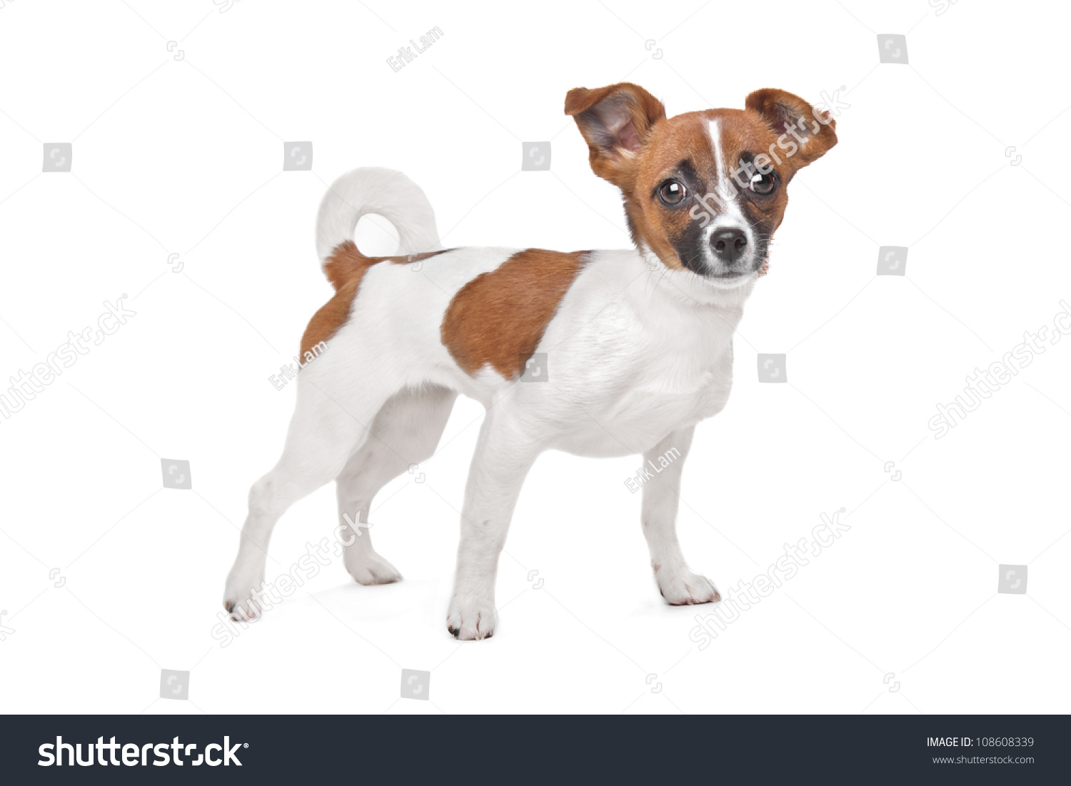 jack russell terrier mixed breeds - photo #45