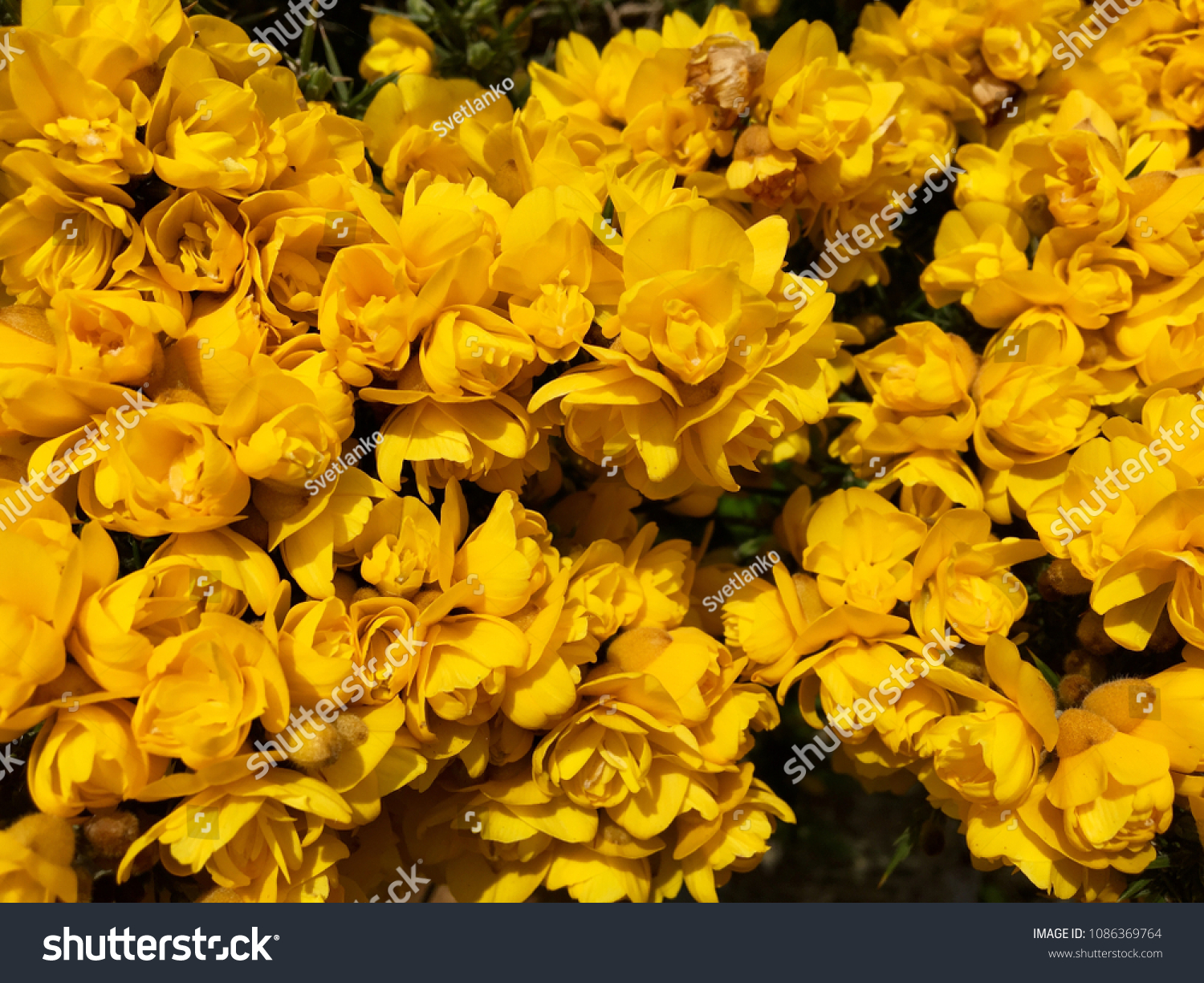 Ulex Gorse Yellow Flowers Spiky Plant Stock Photo Edit Now