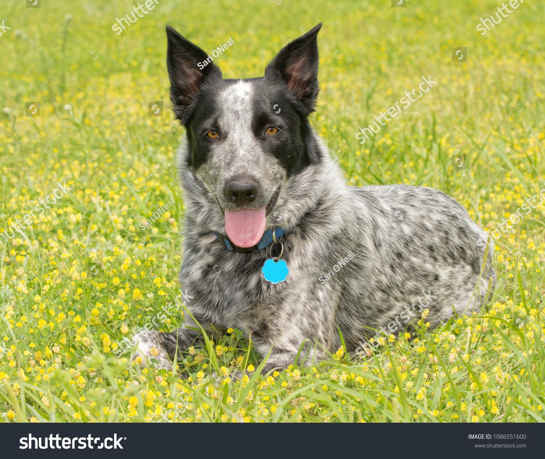 stock-photo-texas-heeler-dog-resting-in-