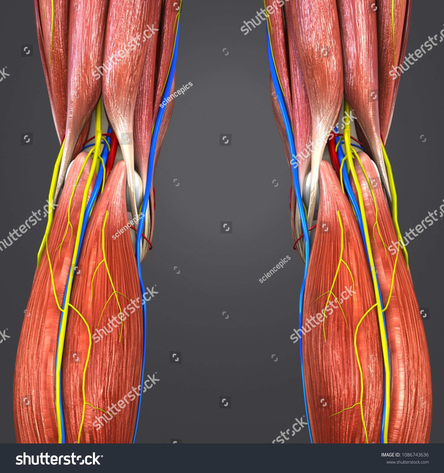 Knee Joint Muscles Anatomy Skeleton Arteries Stock Illustration