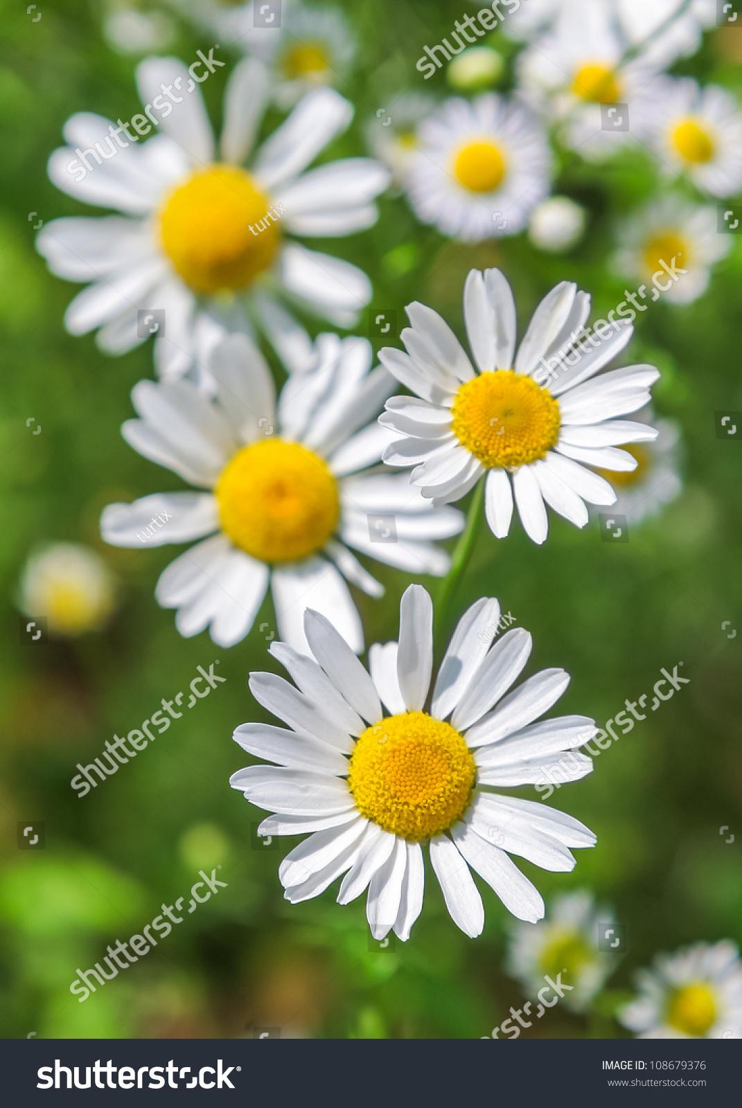 Beautiful daisy flowers stock photo royalty free 108679376 beautiful daisy flowers izmirmasajfo Choice Image