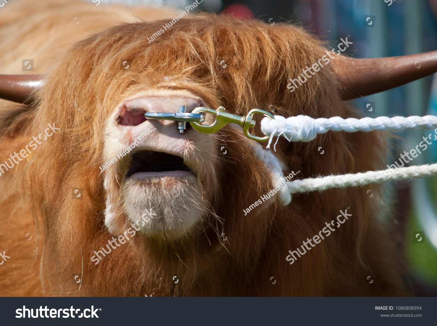 Highland Bull Nose Ring Images Stock Photos Vectors Shutterstock