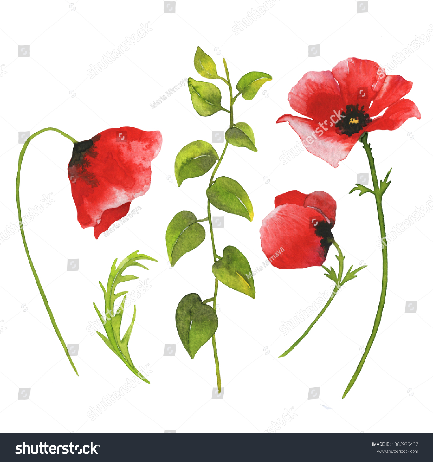Watercolor Red Poppy Flowers Green Leaves Stock Illustration