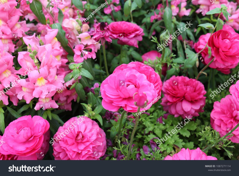 Beautiful flower bed filled pink ranunculus stock photo edit now a beautiful flower bed filled with pink ranunculus and pink snapdragon flowers in full bloom izmirmasajfo