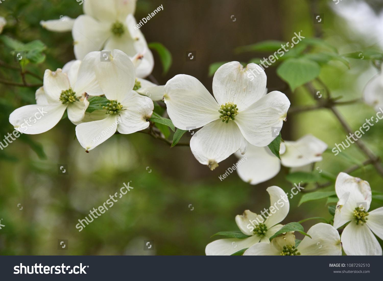Isolated Closeup White Flowering Dogwood Petal Stock Photo Edit Now