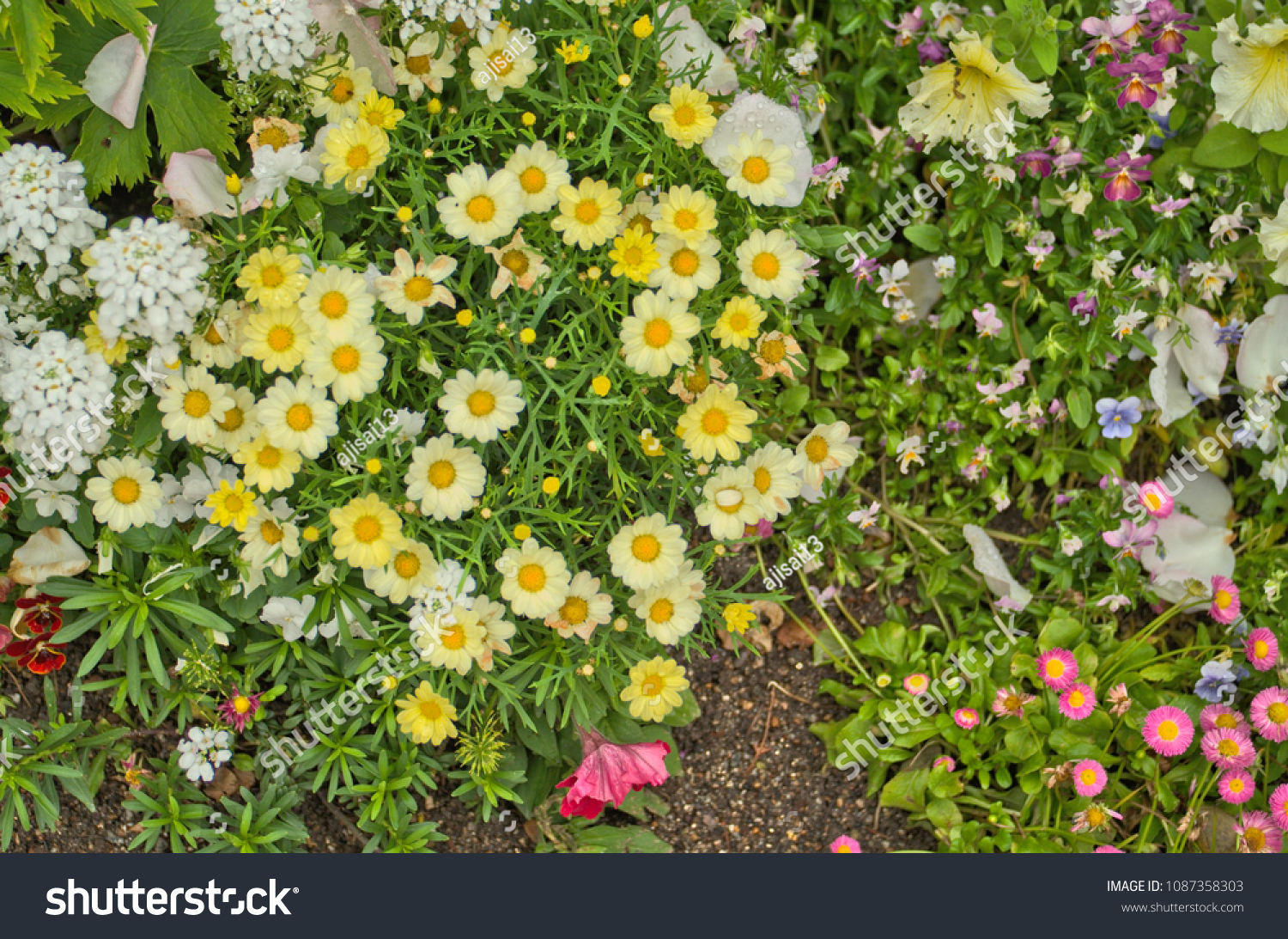 Pretty small yellow flower daisy like stock photo image royalty pretty small yellow flower daisy like as a groundcover and pink santa barbara daisy with a izmirmasajfo