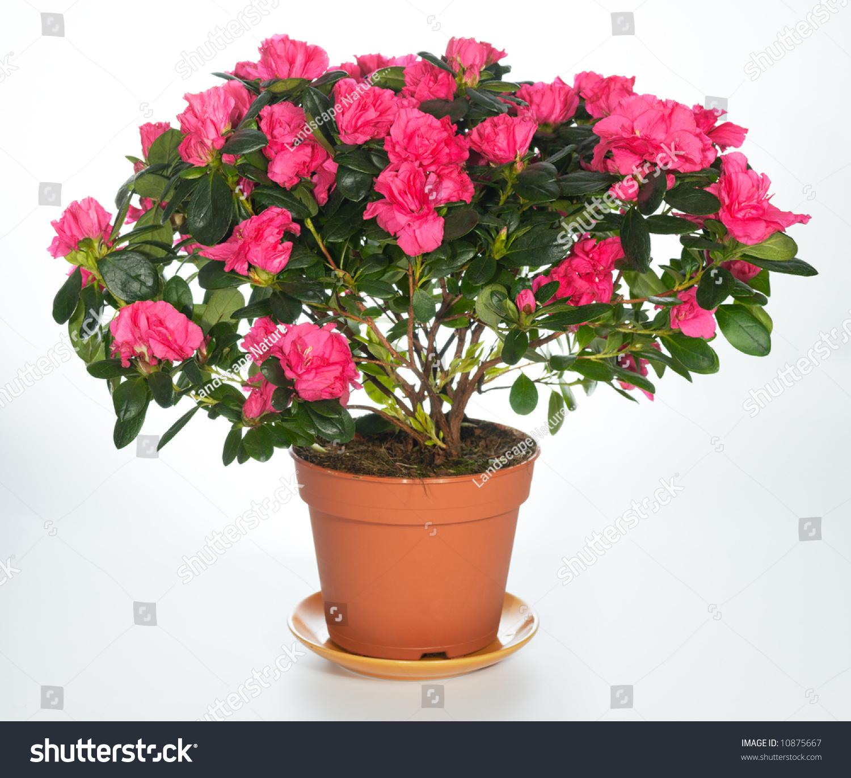 home plant azalea rhododendron simsii on stock photo. Black Bedroom Furniture Sets. Home Design Ideas