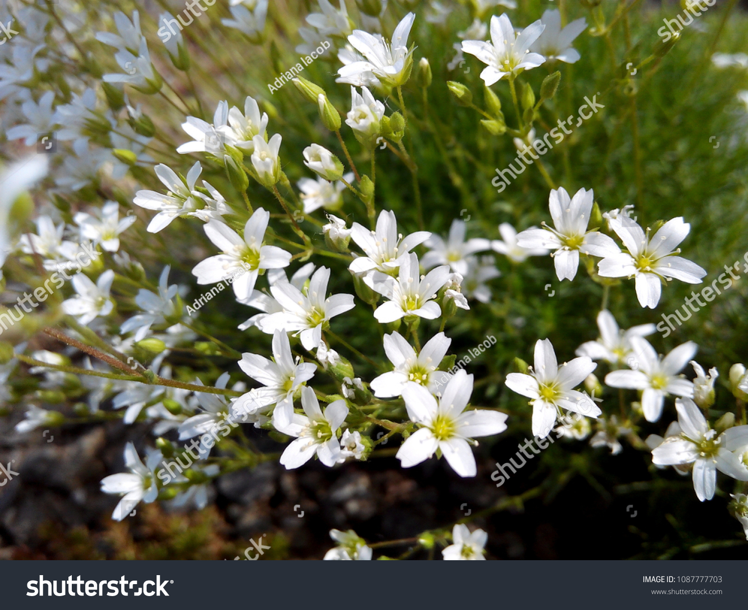 Floral Background Delicate White Flowers Hardy Stock Photo Edit Now
