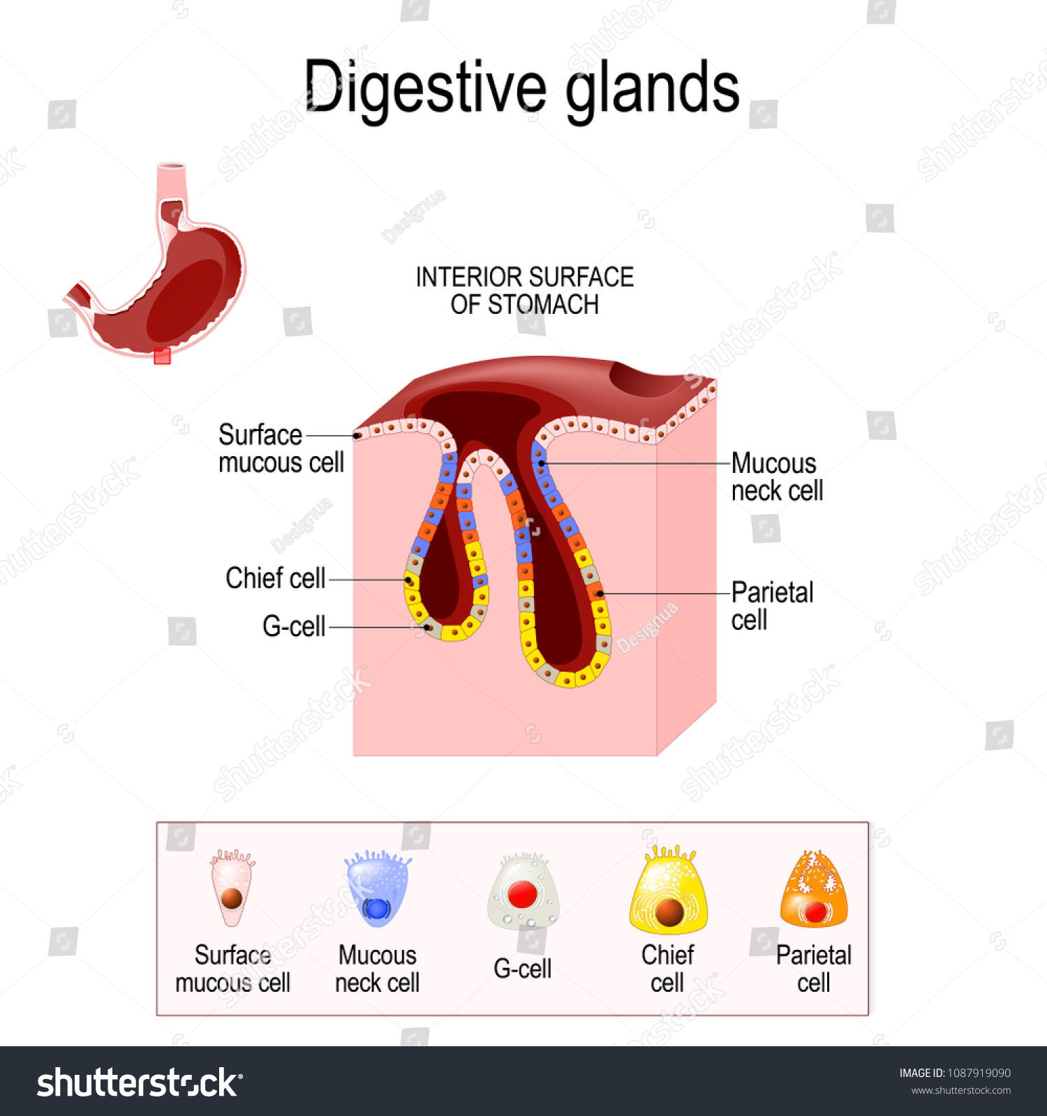 Gasric Glands Structure Digestive Epithelium Gastric Stock Vector