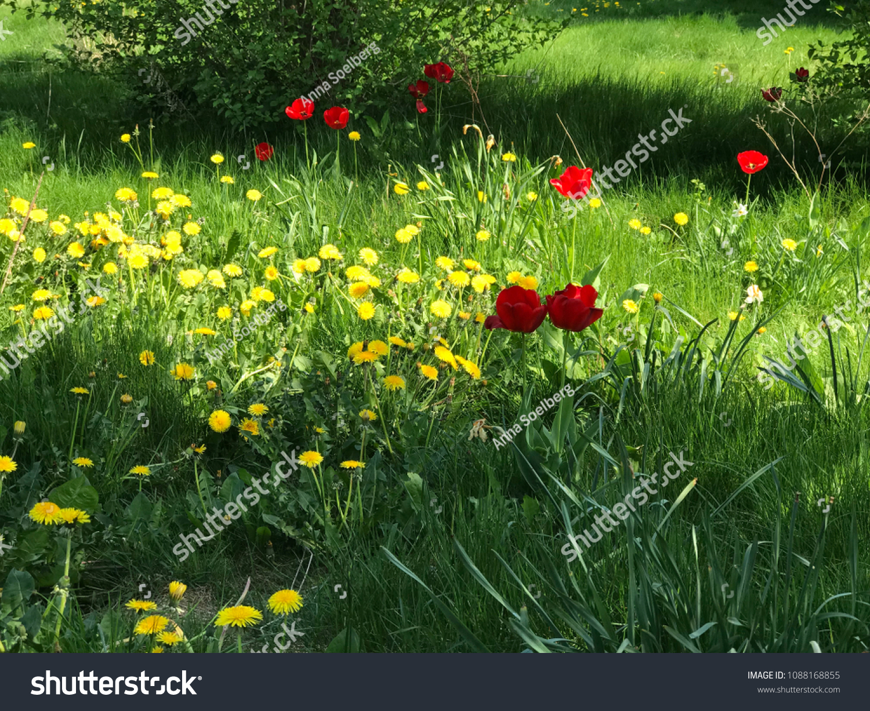 Beautiful field flowers tulips poppies dandelions stock photo beautiful field of flowers tulips poppies and dandelions blooming on the field of thick green izmirmasajfo