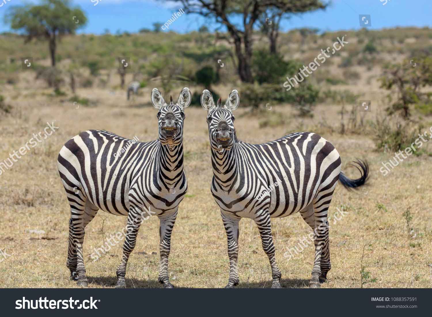 stock-photo-zebras-posing-and-smiling-fo