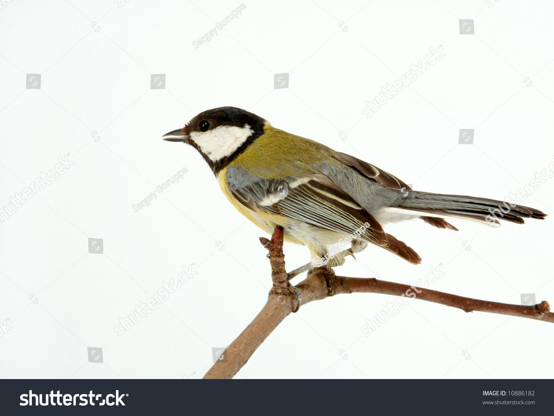 small titmouse bird very useful to a garden stock photo. Black Bedroom Furniture Sets. Home Design Ideas