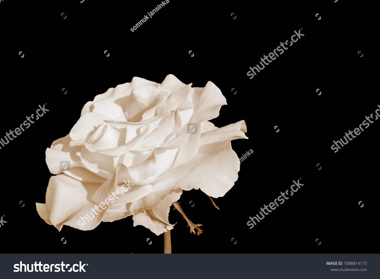White petals of flowers on a black background ez canvas izmirmasajfo