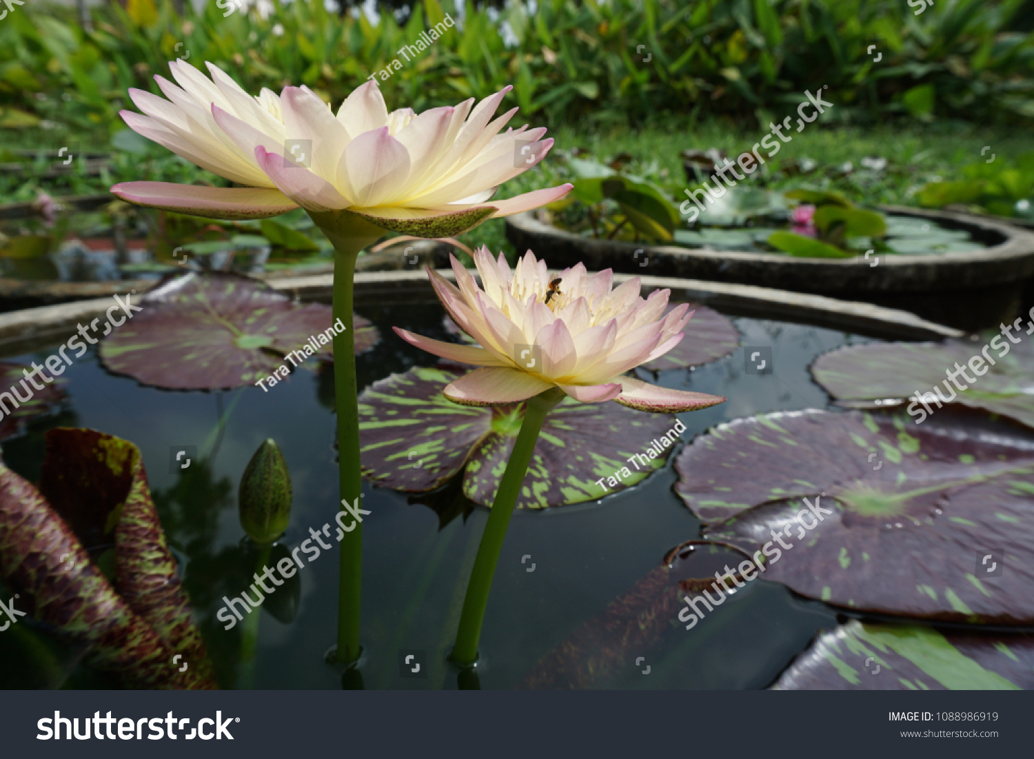 Beautiful Lotus Flowers Pot Thailand Background Stock Photo Edit