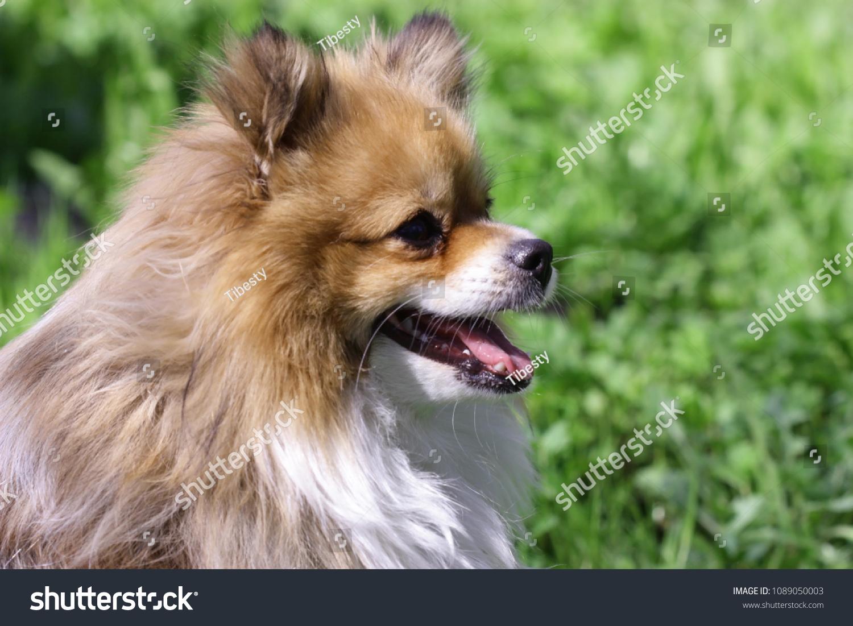 Evil Pomeranian Wwwtopsimagescom