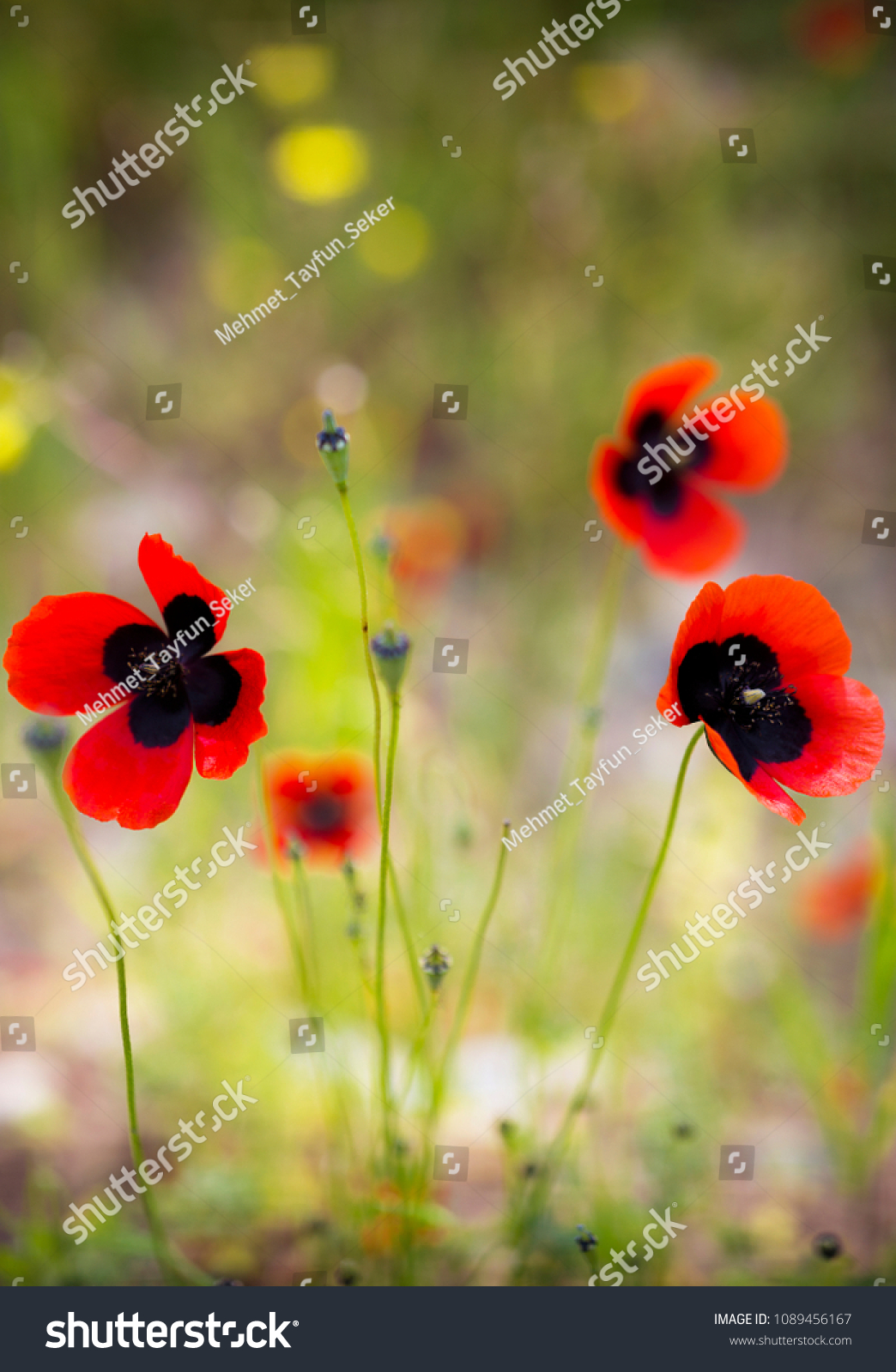 Poppy Weasel Uk People Buy Poppies Stock Photo Edit Now 1089456167