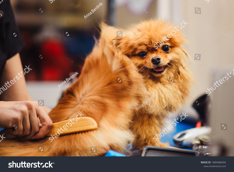 Pomeranian Dog Red Hair Like Fox Stock Photo Edit Now 1089484694