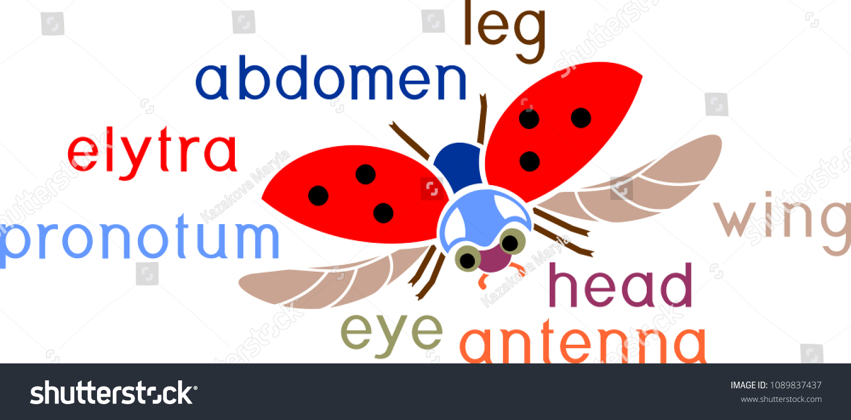 Parts Body Flying Ladybug Titles External Stock Vector 1089837437 ...
