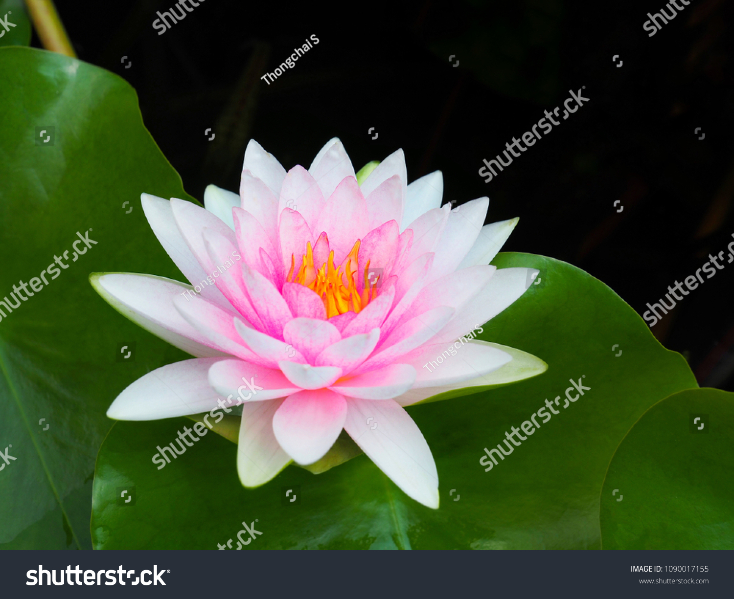 Lotus flower water lily white pink stock photo edit now 1090017155 lotus flower or water lily white and pink with green leaves beautifully blooming in the izmirmasajfo
