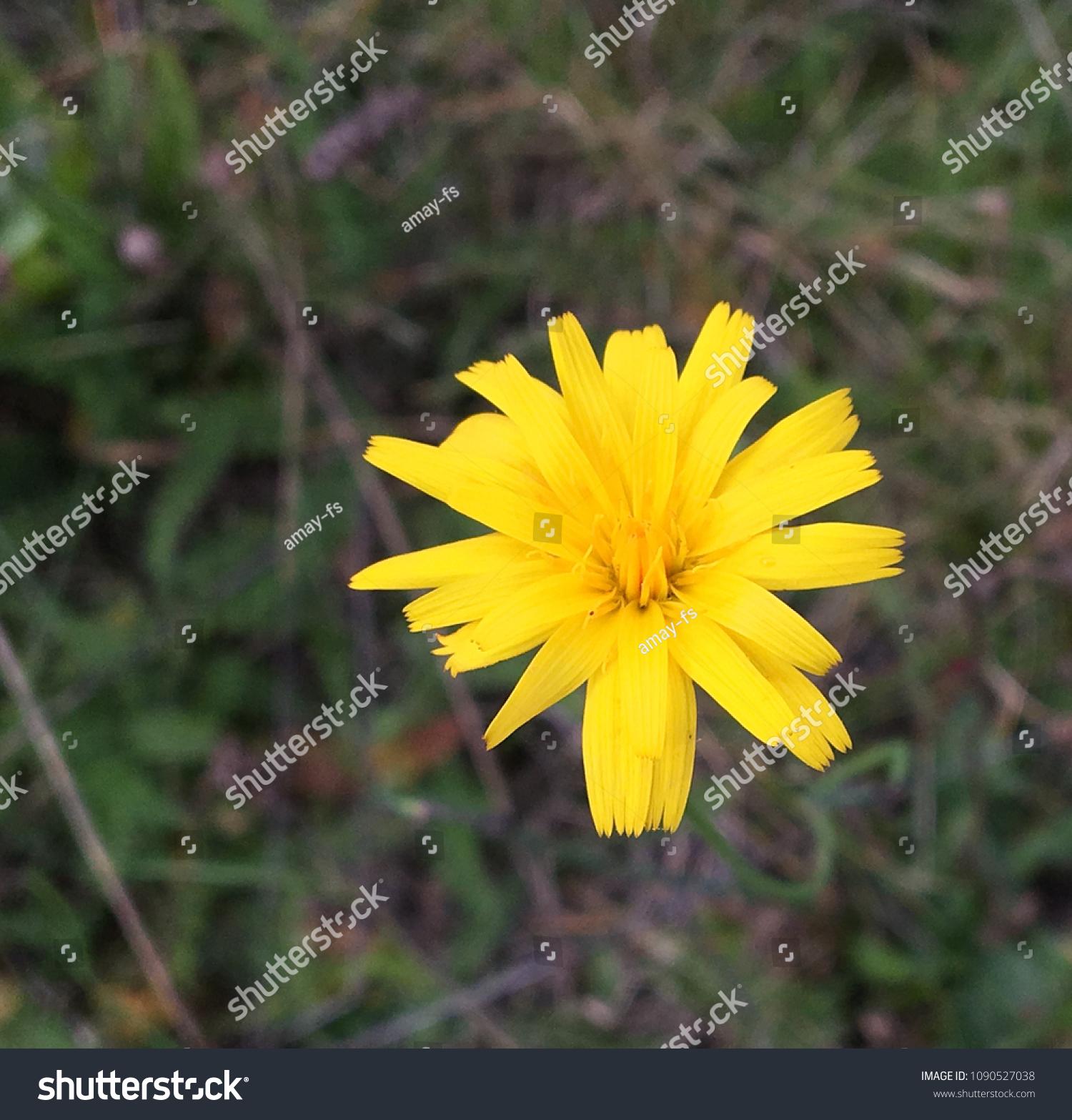 Yellow Flower Leontodon Autumnalis Perennial Blooms Stock Photo