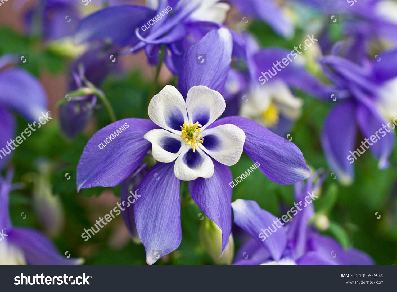 Columbine Aquilegia Caerulea Flower Rocky Mountain Stock Photo Edit