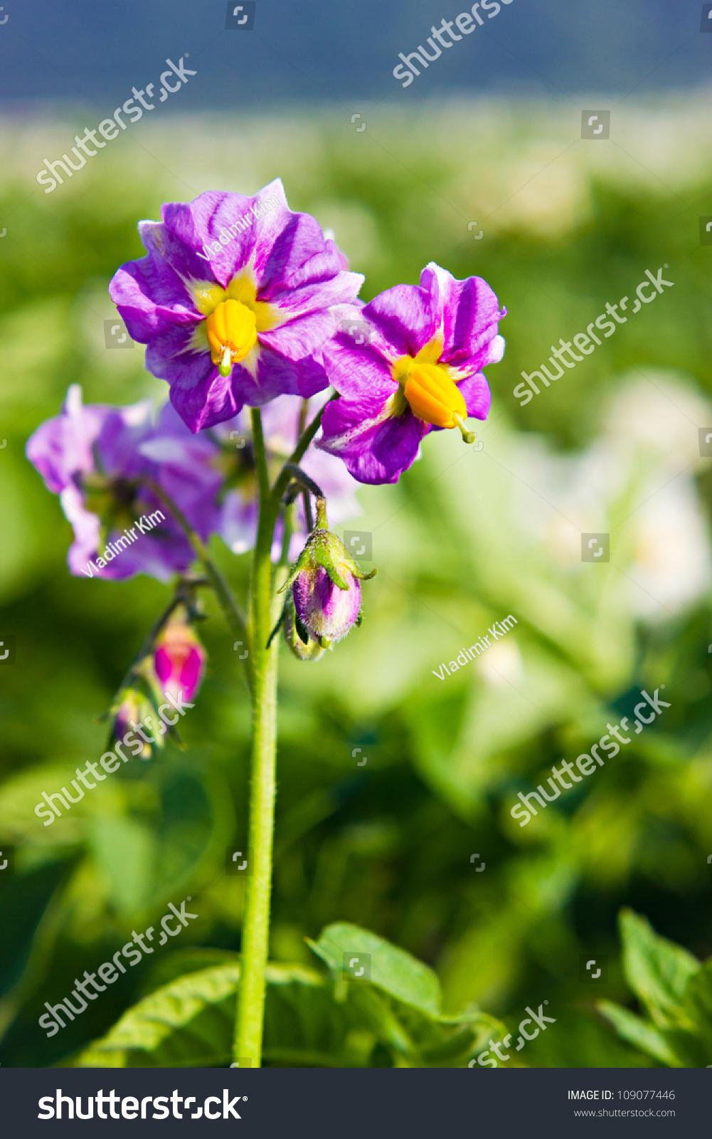 Purple Potato Flowers White Petals Yellow Stock Photo Edit Now