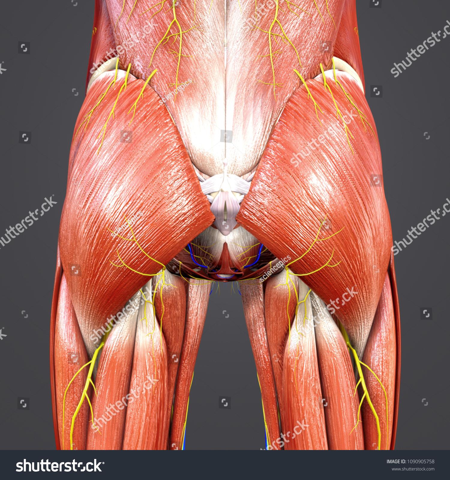Hip Muscle Anatomy Skeleton Arteries Veins Stock Illustration ...