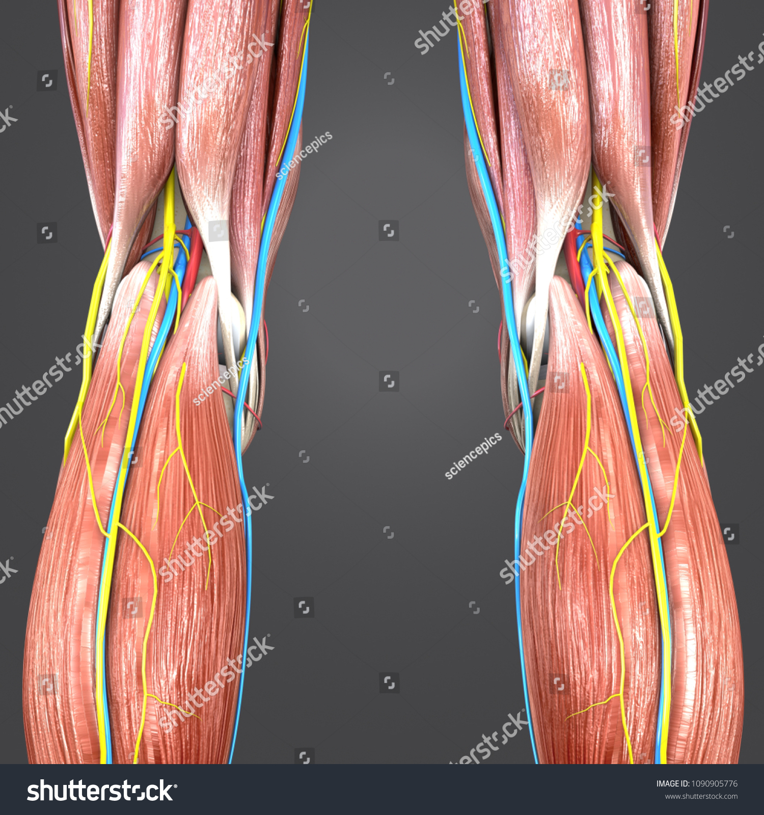 Royalty Free Stock Illustration Of Knee Joint Muscle Anatomy