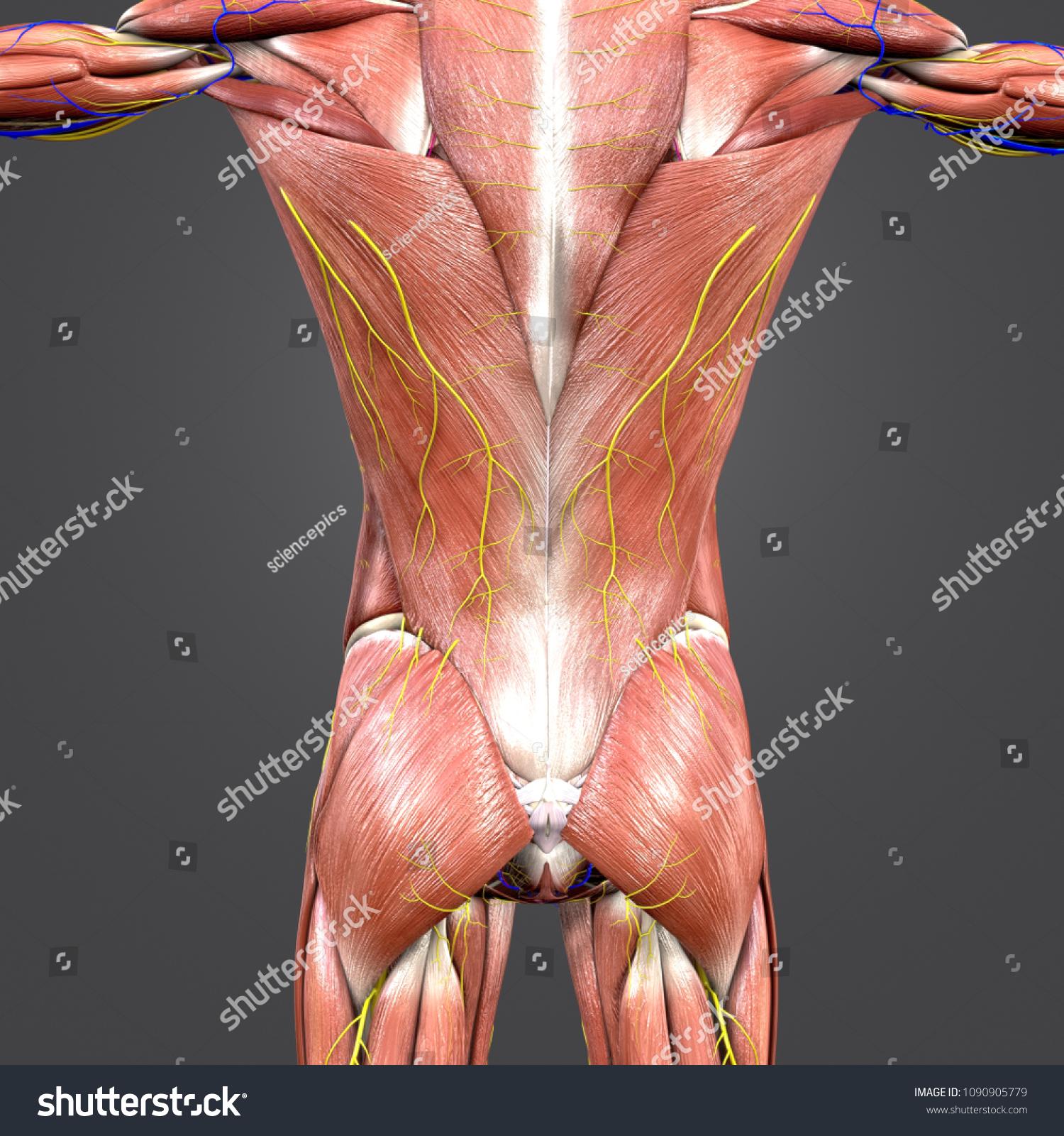 Human Muscular Anatomy Skeleton Arteries Veins Stock Illustration