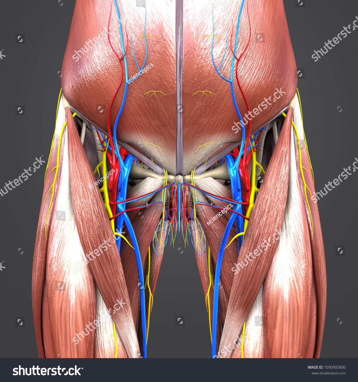 Hip Muscle Anatomy Skeleton Arteries Veins Stock Illustration