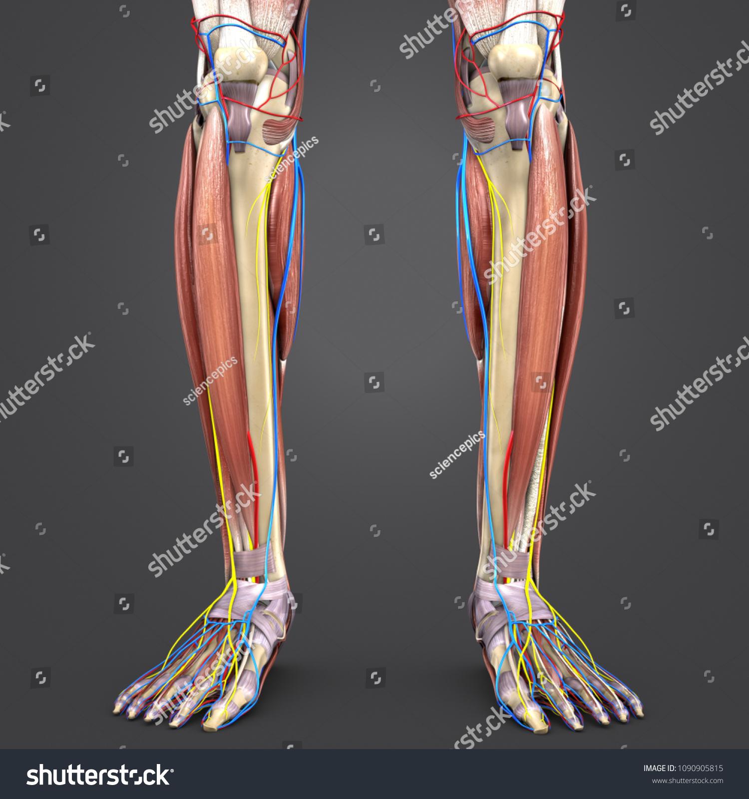 Leg Muscle Anatomy Skeleton Arteries Veins Stock Illustration