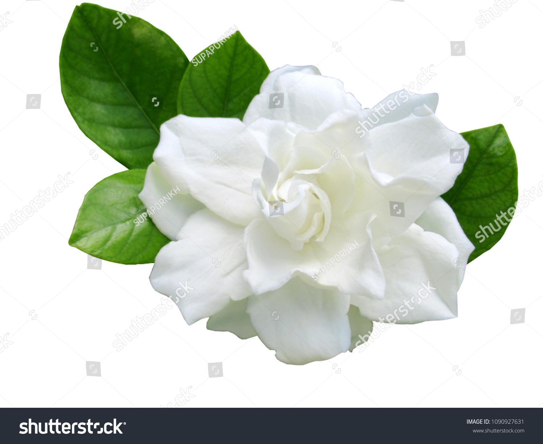 Cape jasmine flower leaves isolated on stock photo edit now cape jasmine flower with leaves isolated on white background izmirmasajfo