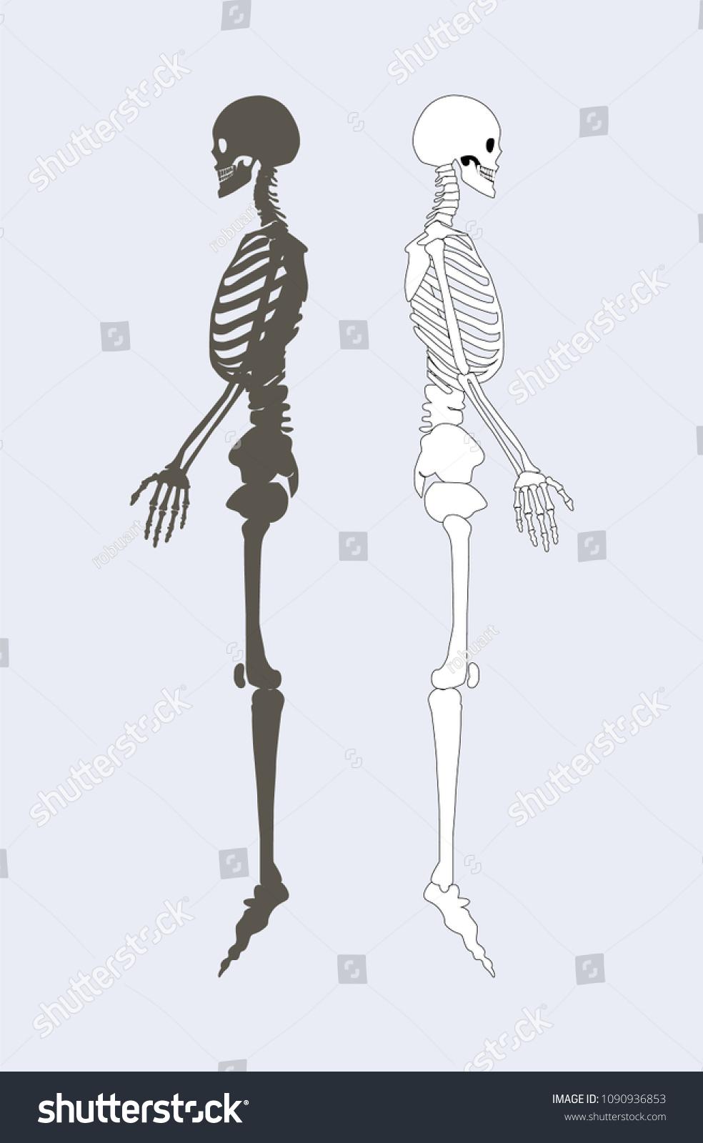 Skeletal System Human Body Black White Stock Vector Royalty Free