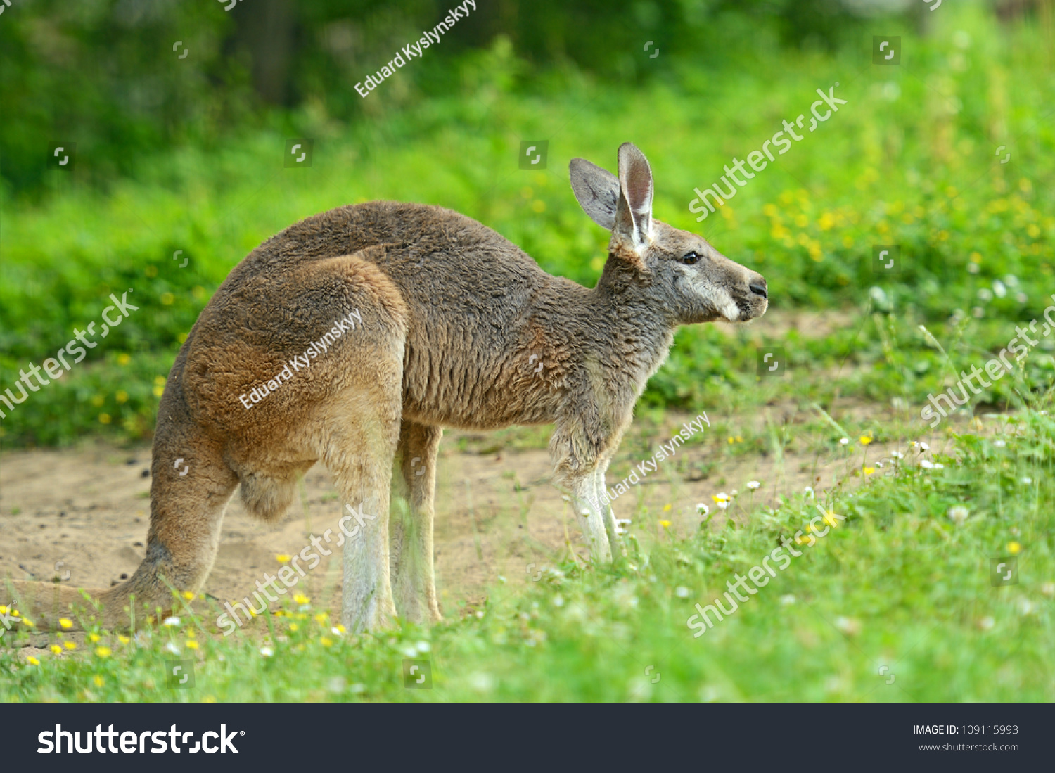 Kangaroo Natural Habitat A Kangaroo Is In A Nat...