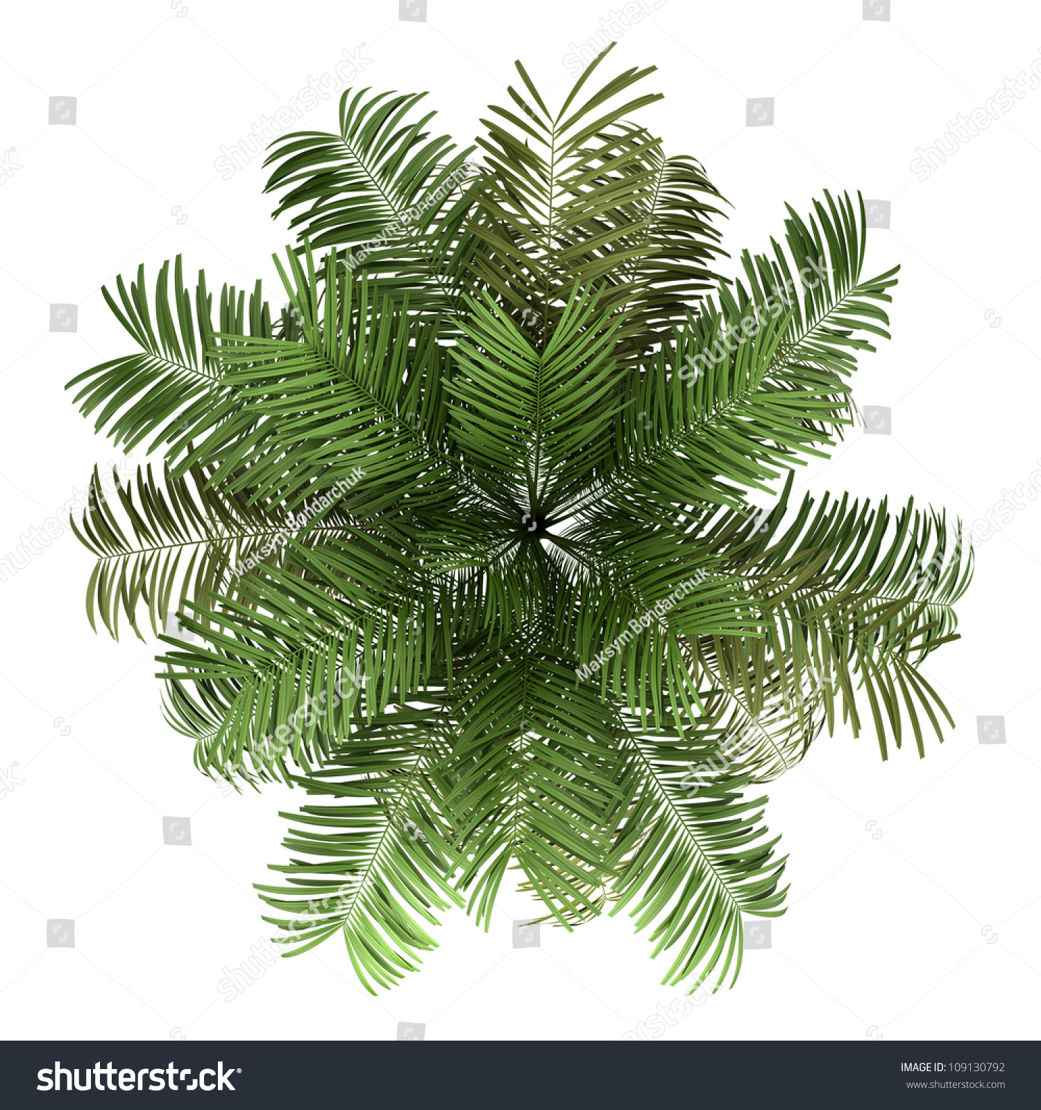 Top View Areca Palm Tree Isolated Stock Illustration 109130792 ... for Palm Tree Top View Png  61obs