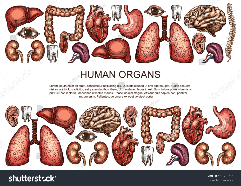 Human Body Anatomy Sketch Poster Internal Stock Vector 2018