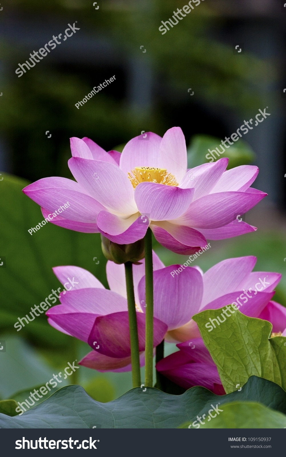 Lotus blossoms water lily flowers blooming stock photo edit now lotus blossoms or water lily flowers blooming on pond izmirmasajfo