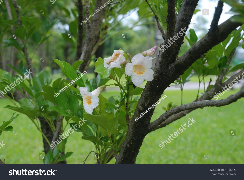 Radermachera Sinica Tree About 3 5 Stock Photo Edit Now 1091531285