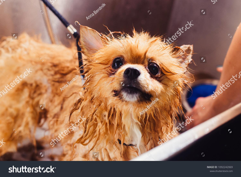 Pomeranian Dog Red Hair Like Fox Stock Photo Edit Now 1092242069