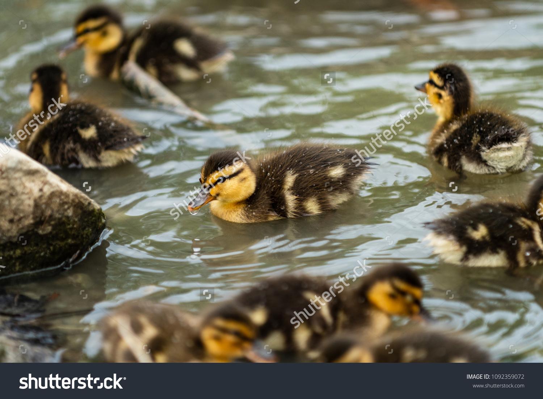 Close Big Family Baby Mallard Ducks Stock Photo (Edit Now