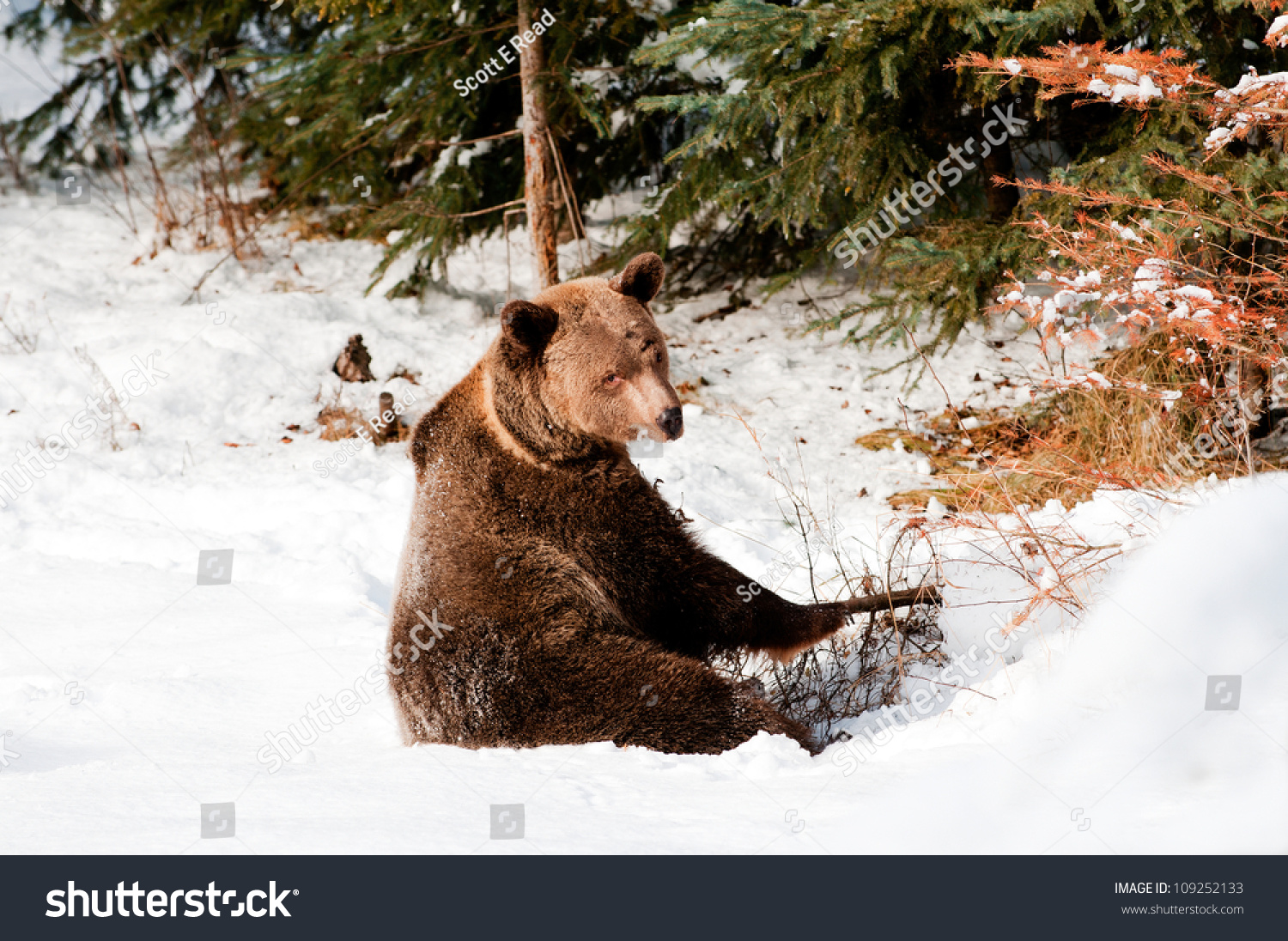 Grizzly Bear Attacks How wildlife investigators found a