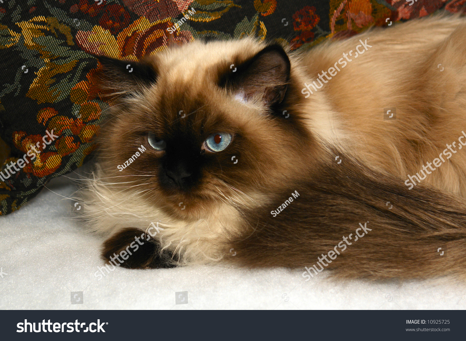 Long Haired Blue Eyed Seal Point Stock Photo Edit Now 10925725