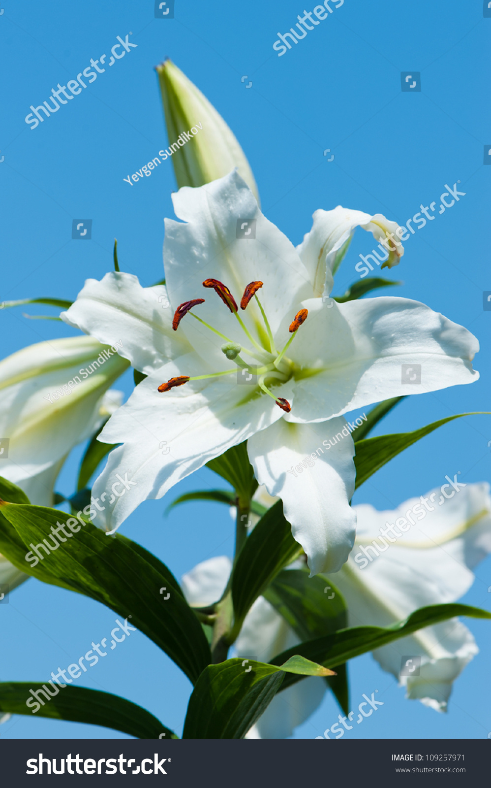 White Lily Flower On Blue Sky Stock Photo Edit Now 109257971