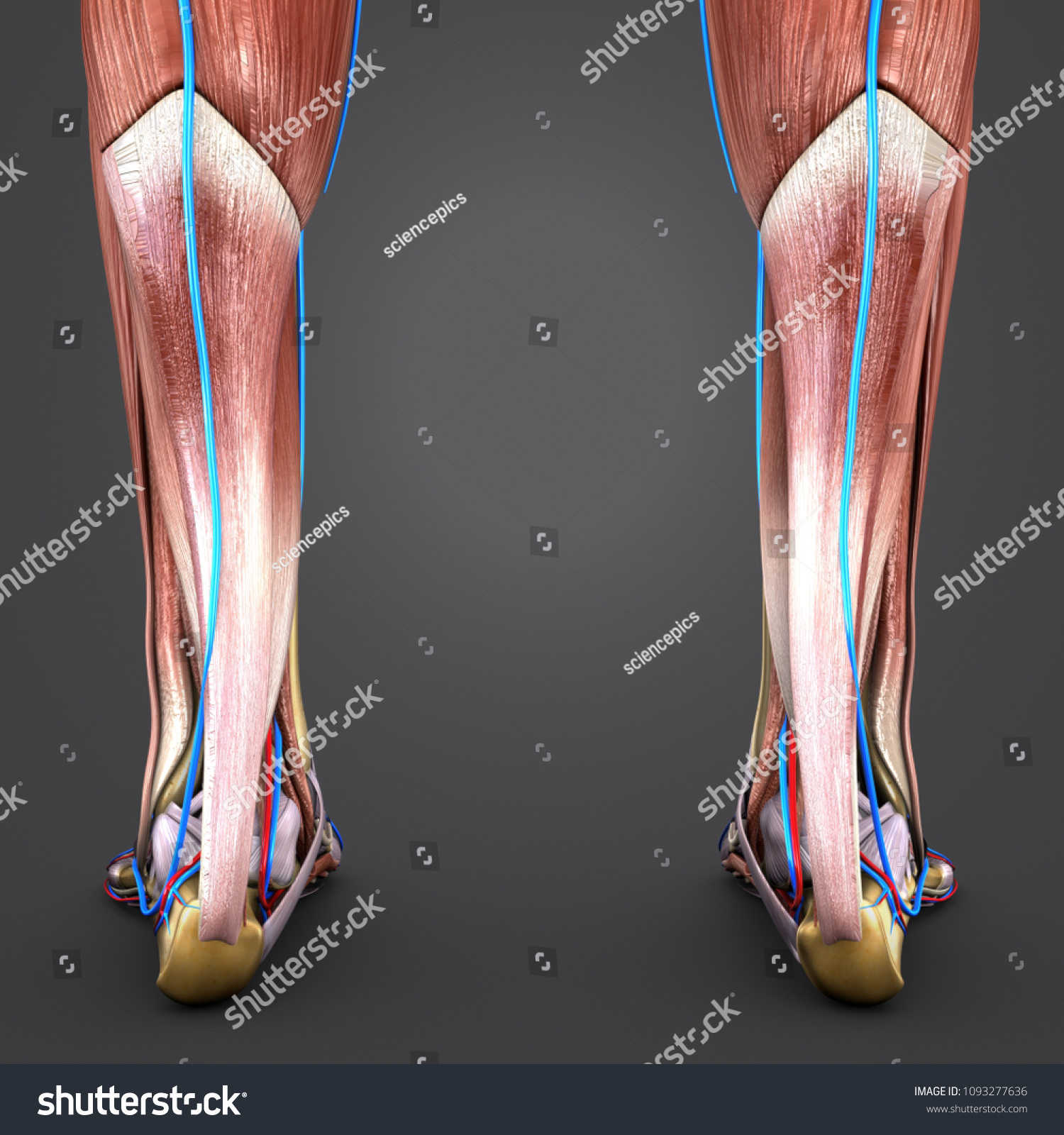Human Legs Muscle Anatomy Skeleton Arteries Stock Illustration ...
